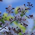 Photos: 青空に桐の花
