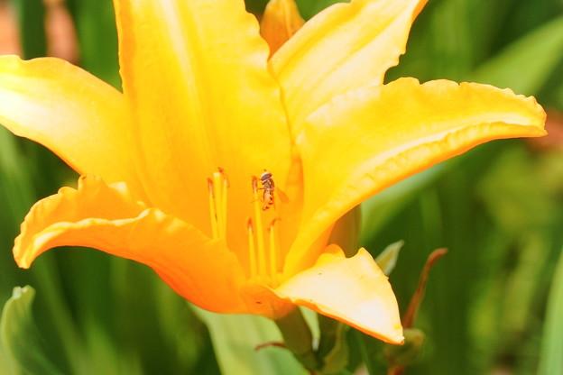 カンゾウ?の花