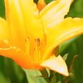 Photos: カンゾウ?の花