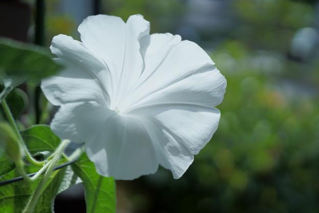 純白の朝顔 横