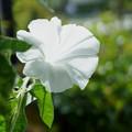 純白の朝顔 縦