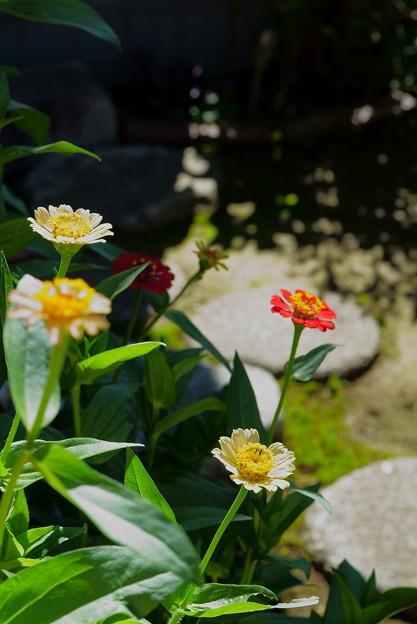 百日草  真夏のような日差し
