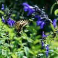 アゲハチョウはメドーセージが好き