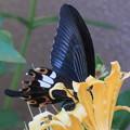 ヒガンバナ&アゲハチョウ + 蜂
