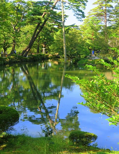 初秋の兼六園  瓢池 赤松の木