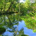 Photos: 初秋の兼六園  瓢池 赤松の木