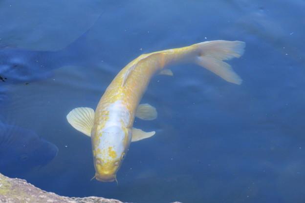 霞が池の鯉