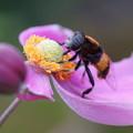 秋明菊にハナアブ