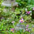 Photos: 庭の秋明菊