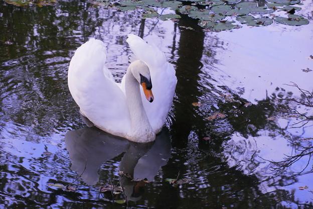 白鳥 コロちゃん