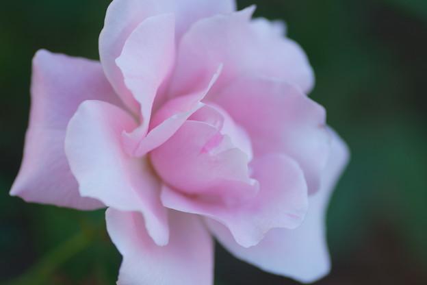 秋バラ ピンク 桜貝