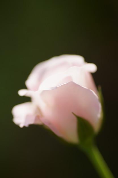秋バラ ピンク