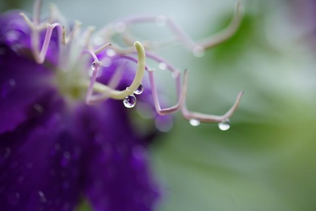 Photos: シコンノボタン 雨のしずく