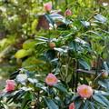 金沢椿 西王母が開花