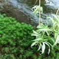 杉苔とオリヅルラン