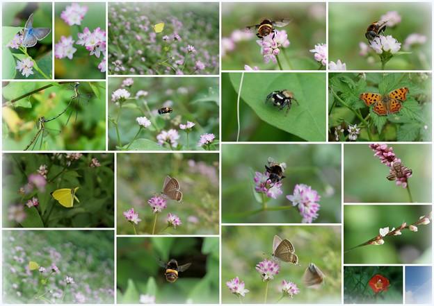 ミゾソバのお花畑に 蝶と虫