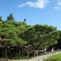 Photos: 兼六園 日本武尊の像 お花松