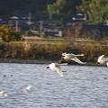 Photos: コハクチョウとシラサギの飛翔