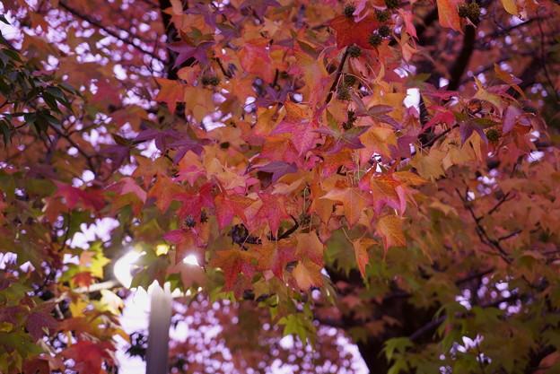 アメリカフウの紅葉