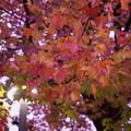 Photos: アメリカフウの紅葉