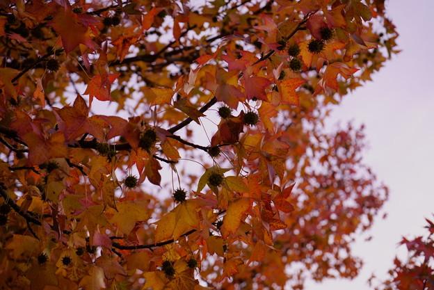 アメリカフウの紅葉と実