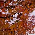 Photos: アメリカフウの紅葉と実
