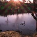白鳥と夕日