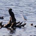 Photos: 鵜と白鷺  黒と白