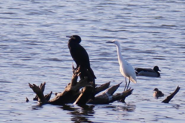 鵜と白鷺  黒と白