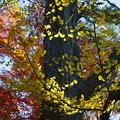 兼六園 イチョウの黄葉