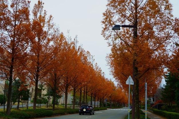 Photos: 金沢・メタセコイアの並木道(4)
