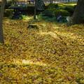 兼六園 落ち葉の絨毯