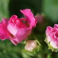 Photos: 八重咲きプリムラ「イチゴのミルフィーユ」