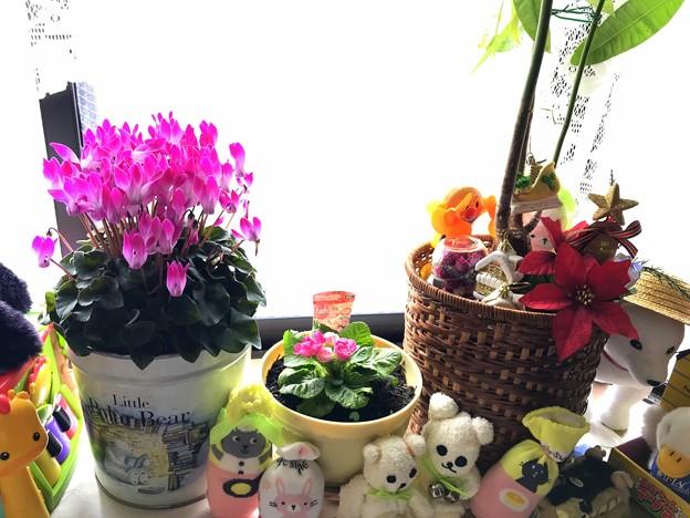 Photos: シクラメン プリムラ パキラの足元で、ポインセチア(造花)など