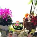シクラメン プリムラ パキラの足元で、ポインセチア(造花)など