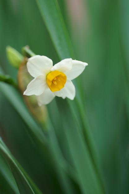 日本水仙 初開花(1)