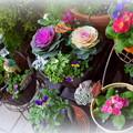 お正月の玄関前の花