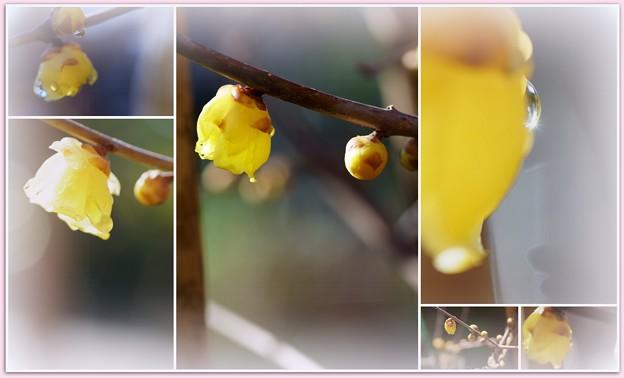 ロウバイ お正月に初開花