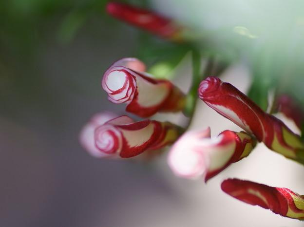オキザリスパーシーカラー(3)