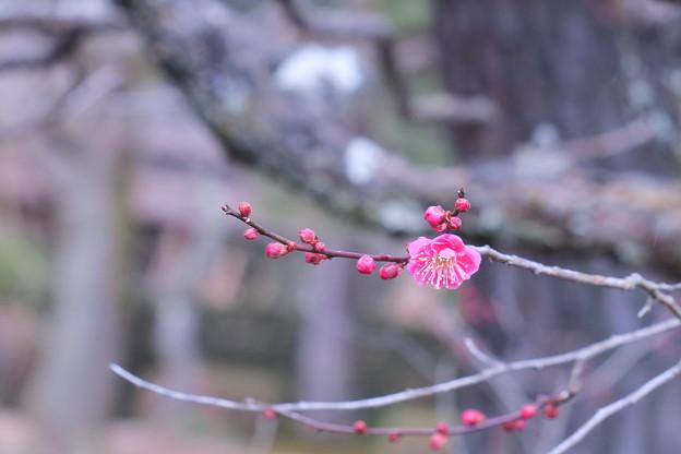八重寒紅 梅