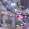 Photos: 八重寒紅 梅