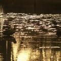 カルガモ キラキラの池で *゚見つめ合って? ☆彡*