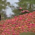 サザンカの絨毯と池