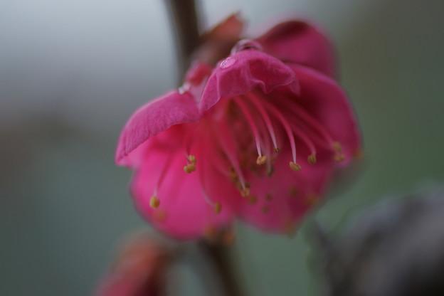 寒紅梅が開花(1)