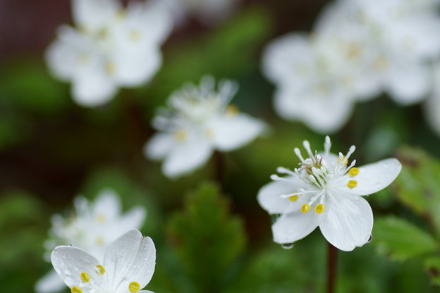 バイカオウレン  早春の花