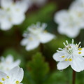 Photos: バイカオウレン  早春の花