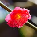 Photos: 鹿児島紅梅(1)