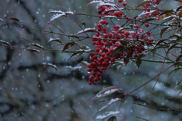 南天 雪が降る