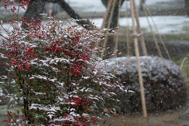 兼六園 南天の実と雪