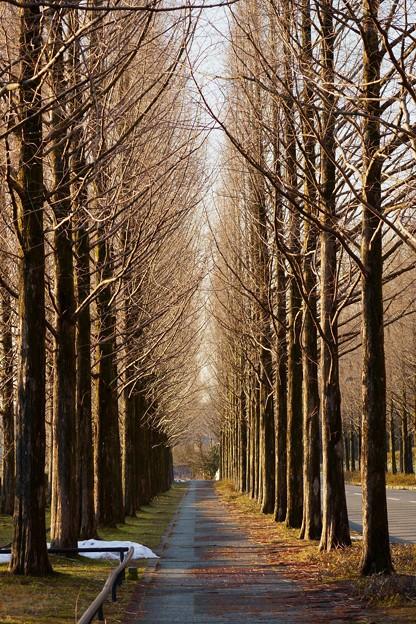 冬枯れのメタセコイアの並木道